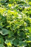 Gurkensämlinge im Großen Blatteierstock des Gartens blüht lizenzfreies stockfoto