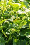 Gurkensämlinge im Großen Blatteierstock des Gartens blüht lizenzfreie stockfotografie
