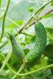 gurkor green två Royaltyfria Bilder