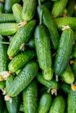 gurkor Gurkaskörden många gör grön gurkor Gurkabakgrund Arkivfoto