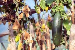 Gurkor i en trädgård i byn Gissel av gurkor på rastret Sängen av gurkor i den öppna luften fritt avstånd Arkivfoto