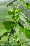 Gurkor i växthus Royaltyfri Bild