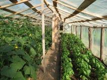 Gurkor och peppar i växthus Arkivfoto