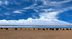 Gurla Mandhata Mount and herd of yaks in Tibet, China Stock Photo