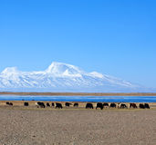 Gurla Mandhata Mount and herd of yaks in Tibet, China Stock Images