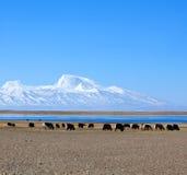 Gurla Mandhata Mount and herd of yaks in Tibet, China Stock Images