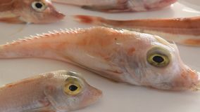 Λαμπρά χρωματισμένα ψάρια θάλασσας - κόκκινο Gurnard, στο άσπρο υπόβαθρο απόθεμα βίντεο