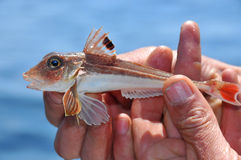 Gurnard Royalty Free Stock Photography