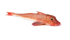 Gurnard czerwona Ryba Obrazy Stock