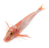 Gurnard fish Stock Photo