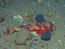 Gurnard fish swims into the sea. Showing his colors Stock Photography