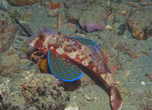 Gurnard fish swims into the sea. Showing his colors Royalty Free Stock Photos