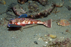 Gurnard fish swims into the sea. Showing his colors Royalty Free Stock Photo
