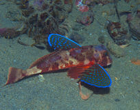 Gurnard fish swims into the sea. Showing his colors Stock Image