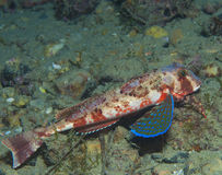 Gurnard fish swims into the sea Royalty Free Stock Image