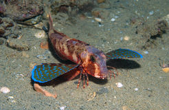 Gurnard fish swims into the sea. Showing his colors Royalty Free Stock Image