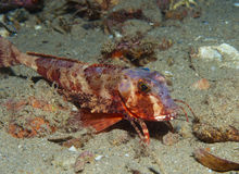 Gurnard fish swims into the sea Royalty Free Stock Images