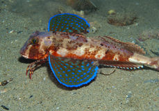 Gurnard fish swims into the sea. Showing his colors Stock Photo