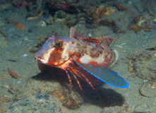 Gurnard fish swims into the sea Stock Images