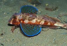 Gurnard fish swims into the sea Royalty Free Stock Photo