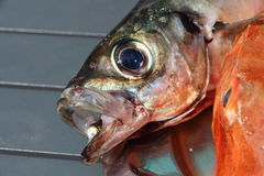 Gurnard and horse mackerel on a pewter dish Stock Photography
