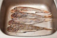 Gurnard sea fish in pan Stock Photos
