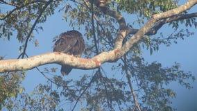 Gurney`s eagle in Halmahera Island, Indonesia stock video footage