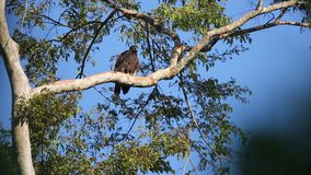 Gurney`s eagle in Halmahera Island, Indonesia stock footage