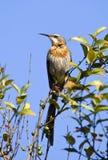 Gurneys Suikervogel, Gurney \ «s Sugarbird, gurneyi Promerops στοκ εικόνες