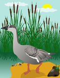 Gus, walking on the grass. Vectors collecting goose swim in the reservoir Royalty Free Stock Photos