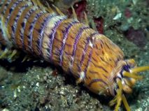 Gusano de Bobbit, aphroditois depredadores acuáticos de Eunice del gusano de polychaete en el estrecho de Lembeh
