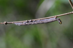 Gusano de la mariposa en rama Foto de archivo libre de regalías