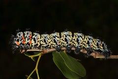 Gusano de Mopane (belina) de Gonimbrasia, una delicadeza en el árbol de África meridional (mopane de Colophospermum) Fotografía de archivo libre de regalías