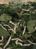 Gusano de seda Foto de archivo libre de regalías