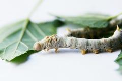 Gusano de seda de la mora Fotos de archivo libres de regalías