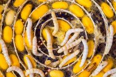 Gusano de seda en el capullo amarillo, ciclo de vida del gusano de seda Fotos de archivo