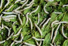 Gusano de seda que alza las hojas alimentadas granja de la mora Fotografía de archivo