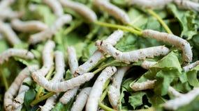 Gusano de seda que alza las hojas alimentadas granja de la mora Fotos de archivo libres de regalías