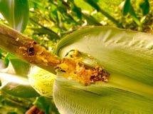 Gusano en maíz Imagen de archivo