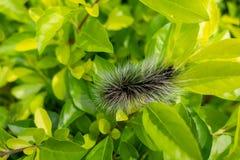 Gusano largo melenudo del pelo de Caterpillar del negro espeluznante del insecto fotografía de archivo libre de regalías