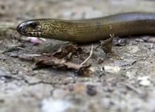 Gusano lento, Anguis fragilis, gusano ciego Imagen de archivo