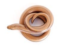 Gusano lento o lagarto ápodo Foto de archivo libre de regalías