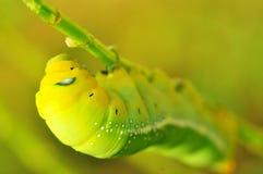 Gusano verde Imagen de archivo libre de regalías