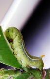 Gusano verde Imagenes de archivo
