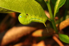 Gusano verde Foto de archivo libre de regalías