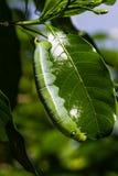 Gusano verde Fotos de archivo libres de regalías