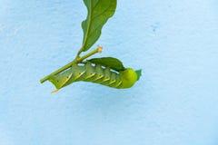 Gusano verde en la hoja Imagen de archivo libre de regalías