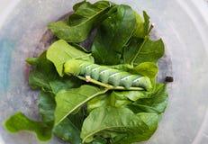 Gusano verde en la hoja Imagenes de archivo