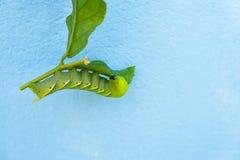 Gusano verde en la hoja Imagen de archivo
