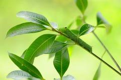 Gusano verde en la ramificación Fotografía de archivo libre de regalías